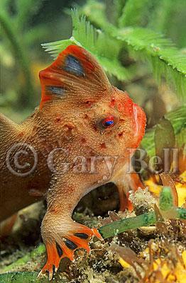Red Hand Fish